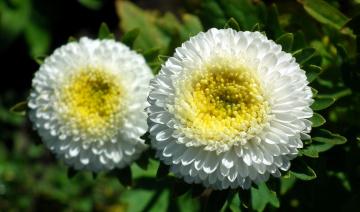 обоя цветы, астры, белый