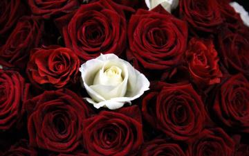 обоя цветы, розы, белый, бордо