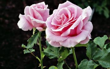 обоя цветы, розы, куст, розовые