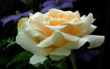 обоя цветы, розы, макро