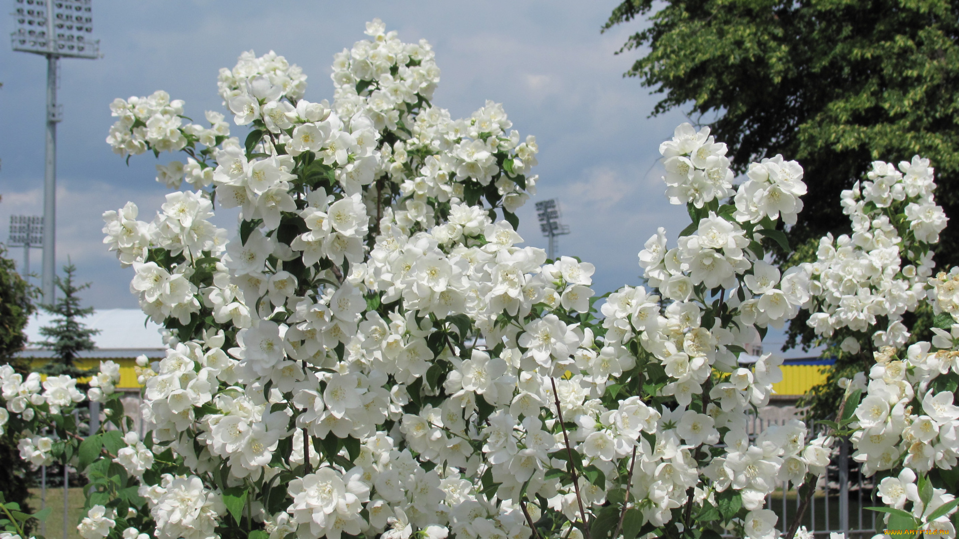 цветы, белые, куст подборки