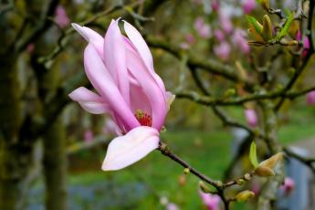 обоя цветы, магнолии, бутон, розовый