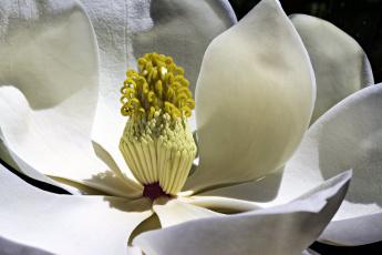 обоя цветы, магнолии, макро, белый