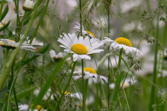 обоя цветы, ромашки, луг, лето, трава