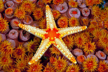 обоя животные, морские звёзды, морская, звезда