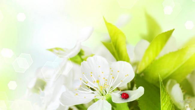 Обои картинки фото разное, компьютерный дизайн, насекомое, божья, коровка, лепестки, цветок