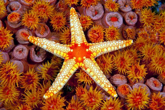 Обои картинки фото животные, морские звёзды, морская, звезда