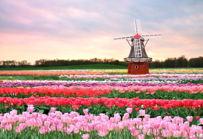 Обои картинки фото разное, мельницы, мельница, поле, тюльпаны, весна