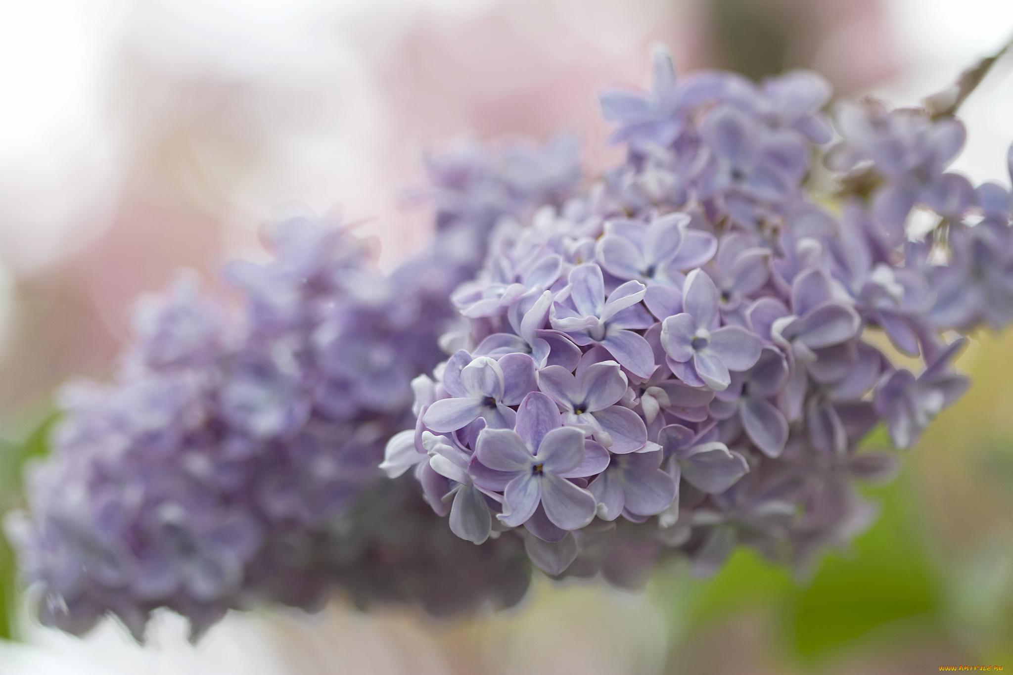цветы природа сирень  № 2224224  скачать
