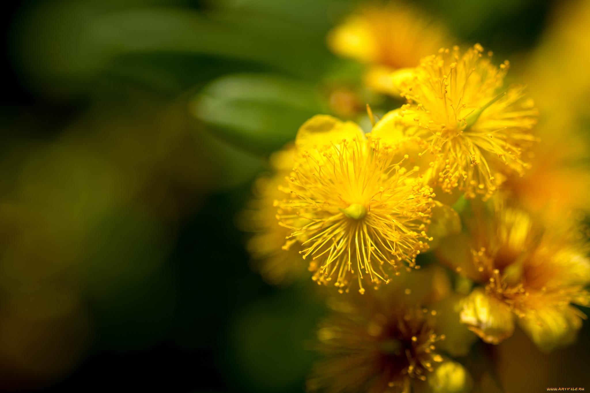 цветок желтый макро без смс