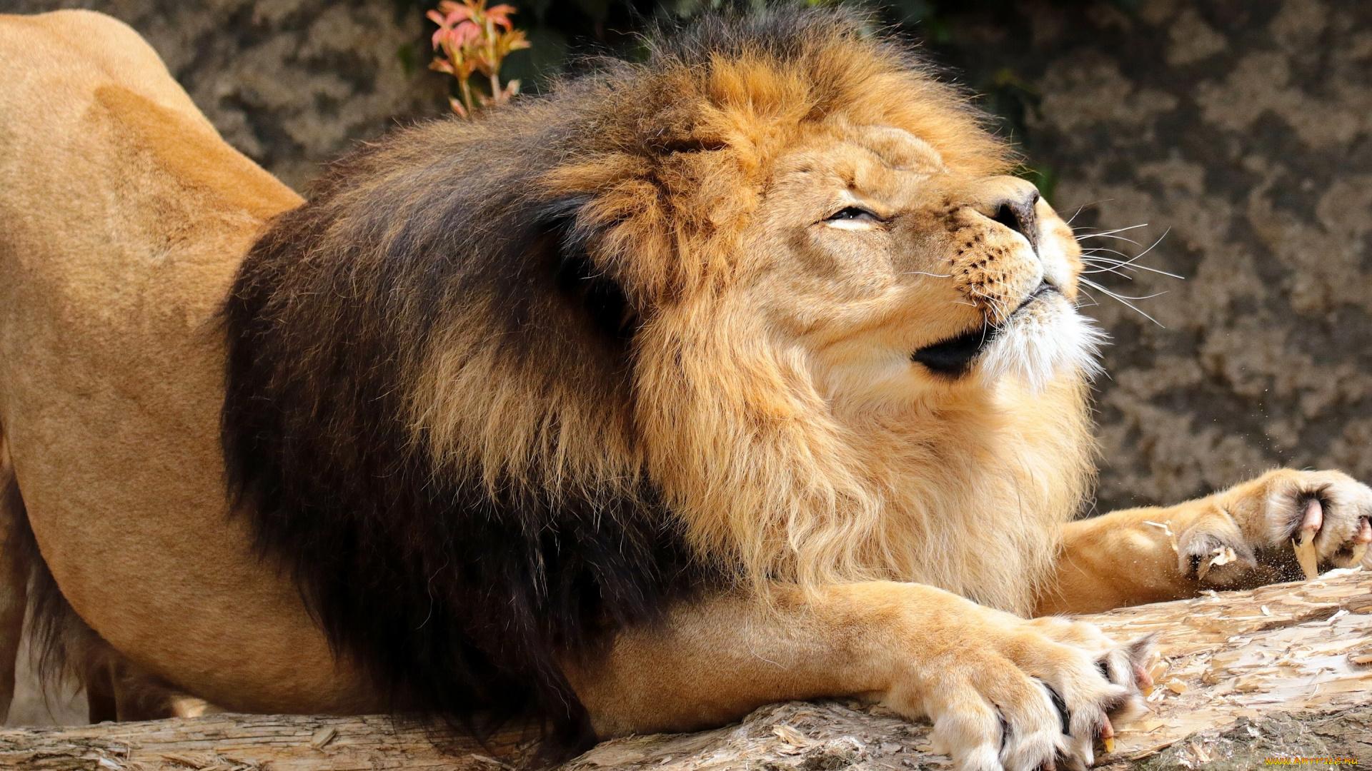 Поиск обои на рабочий стол львы