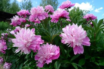 обоя цветы, пионы