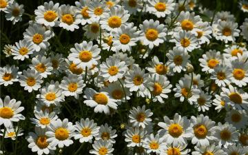 обоя цветы, ромашки