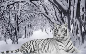 обоя разное, компьютерный дизайн, зима, лес, снег, тигр, белый