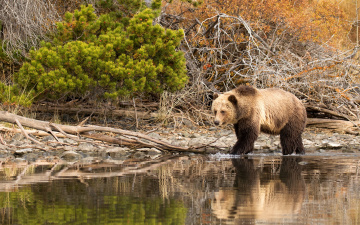 обоя животные, медведи, кусты, бурый, камни, медведь, вода, природа