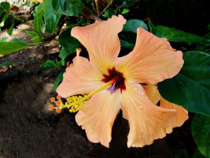 Картинка цветы гибискусы