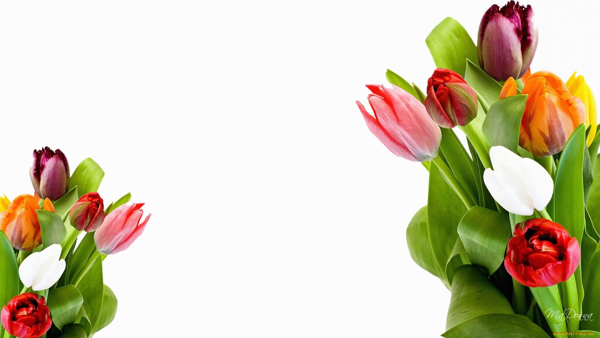Картинки, тюльпаны для оформления открытки