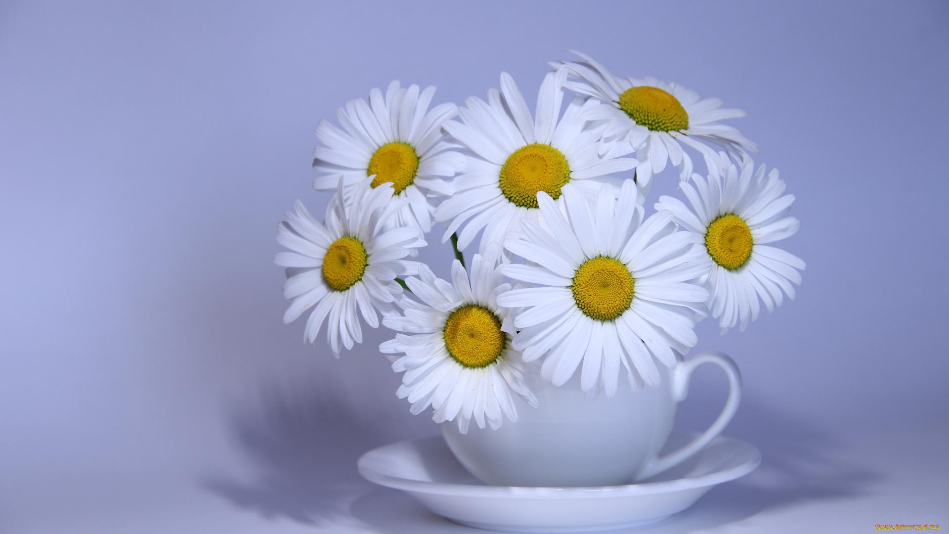 Открытки цветов ромашка, праздником курбан