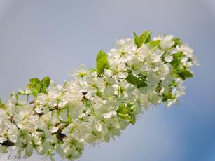обоя цветы, сакура,  вишня, цветение, фото, красота, весна, вишня