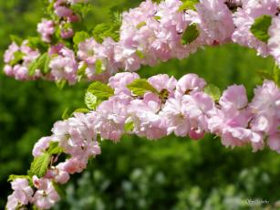 обоя цветы, сакура,  вишня, фото, природа, красота, весна, цветение
