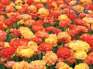 обоя цветы, тюльпаны, красота, фото, пионовидные, весна