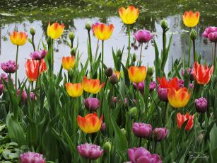 обоя цветы, тюльпаны, красота, фото, весна, пруд, пейзаж