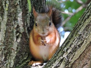 обоя животные, белки, лес, грызуны, рыжик, фото, портрет, белочка, осень