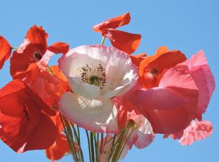 обоя цветы, маки, фото, красота, лето, красный, цвет, букет
