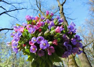 обоя медуница, цветы, smithiantha, букет, весна, красота, лес, небо, фото