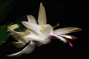 обоя цветы, кактусы, декабристы, зигокактусы, зима, комнатные, красота