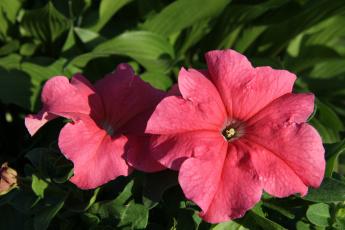 обоя цветы, петунии,  калибрахоа, лето, июнь, дача, сад