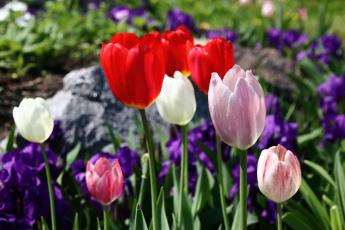 обоя цветы, тюльпаны, бутоны, лепестки, цветение, капли