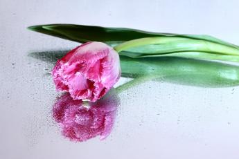 обоя цветы, тюльпаны, весна, март, нфд, отражение, цк