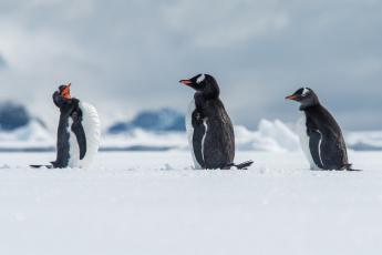 обоя животные, пингвины, зима