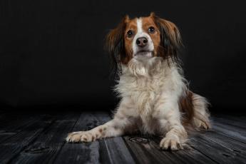 обоя животные, собаки, собака, окрас, шерсть, порода, животное