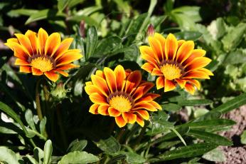 обоя цветы, газания, гацания, дача, июль, красота, лето, сад, цк