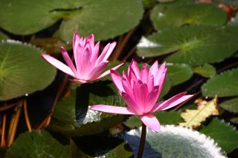 обоя цветы, лилии водяные,  нимфеи,  кувшинки, водяные, лилии, вьетнам, красота