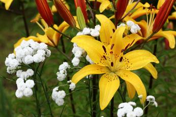 обоя цветы, разные вместе, дача, дождь, июль, капли, лилии, сад, тысячелистник