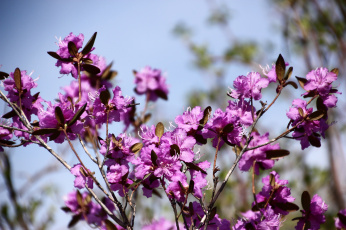 обоя цветы, рододендроны , азалии, весна, дальний, восток, май, природа, рододендрон, хабаровск, цветение