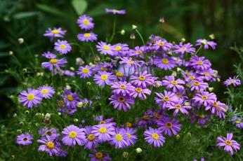 обоя цветы, ромашки, брахикома, июль, дача, цветение, сад, лето