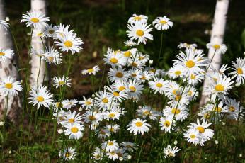 обоя цветы, ромашки, июнь, лето, цветение
