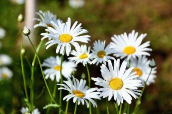 обоя цветы, ромашки, лето