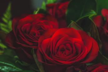 обоя цветы, розы, листья, лепестки, blossoms, бутон, leaves, petals, bud, rose, цветение, роза