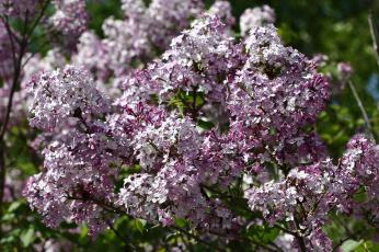 обоя цветы, сирень, сад, весна, дача, май, цветение