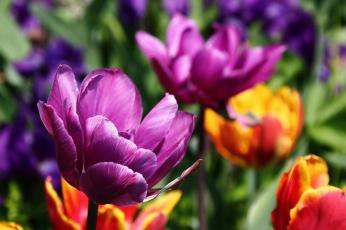 обоя цветы, тюльпаны, весна, дальний, восток, дача, красота, май, сад, хабаровск