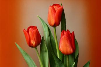 обоя цветы, тюльпаны, весна, зима, красота, мбг, нфд, февраль