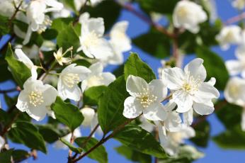 обоя цветы, жасмин, цветущие, кустарники, июнь, чубушник, цветение