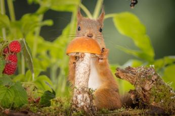обоя животные, белки, ягоды, природа, листья, грызун, белка, зверёк, гриб, малина, животное