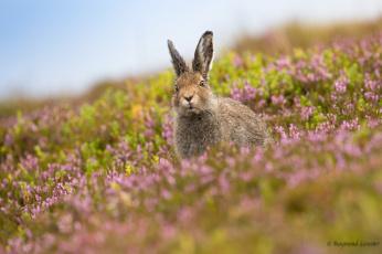 обоя животные, кролики,  зайцы, фон, ушки, травка, кролик