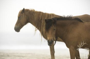 обоя животные, лошади, лошадь, окрас, грива, хвост